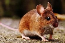 Мышь на участке